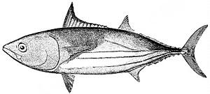 slipjack tun or oceanic bonito