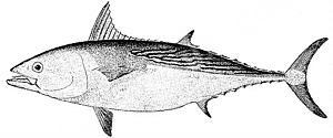 Euthynnus alleteraturs Tuna